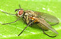 Macquartia grisea (13485505745).jpg