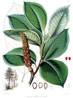 Magnolia campbellii - Leaves and seeds