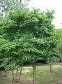 Magnolia stellata9.jpg