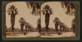 Magnolla Avenue,- tropical beauties of Riverside, California, from Robert N. Dennis collection of stereoscopic views.png