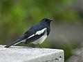Magpie Robin 5661.jpg