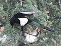 Magpie in Madrid (Spain) 23.jpg