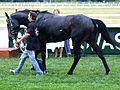 Magyar Derby 2011 A győztes Ostinato I.JPG