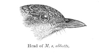 Abbott's babbler - Head showing the strong bill