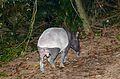 Malayan Tapir (Tapirus indicus) (8728048275).jpg