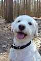 Male, White, Schnoodle.jpg