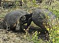 Male Gopher Tortoises 'Duke It Out' - Flickr - Andrea Westmoreland.jpg