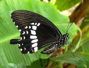 Papilio polytes - Image: Male mormon cyrus