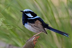 Male superb fairy wren.jpg