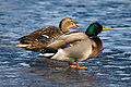 Mallard male female on ice.jpg