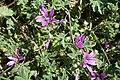 Malva sylvestris subsp. sylvestris-2.jpg