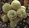Mammillaria carmenae c-1281 - 01A.jpg