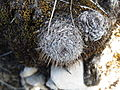 Mammillaria haageana (5738754841).jpg