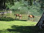 Manastir Krka -Konji na pojilu.JPG