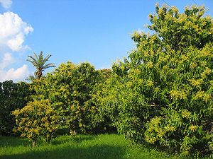 English: Mango tree, taken photo during a trip...