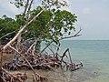Mangroves Ambergris Caye (Belize).jpg