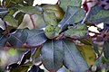 Manilkara hexandra 3zz.jpg