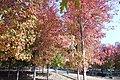 Maples 0376.jpg