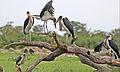 Marabou Stork, Leptoptilos crumeniferus, at the aptly named Marabou Pan, Savuti, Chobe National Park, Botswana (32663810361).jpg