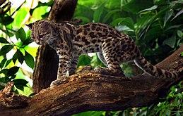 Margaykat Leopardus wiedii.jpg
