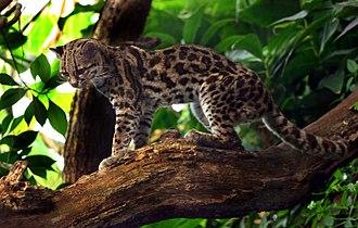 Margay - Image: Margaykat Leopardus wiedii