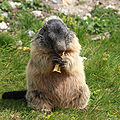Marmota marmota 06.jpg