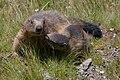 Marmota marmota Glockner 2009 01.jpg