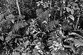 Mason Neck Ferns (17465087373).jpg