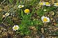 Matricaria chamomilla (8824767912).jpg
