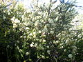 Melaleuca ericifolia 1c.JPG