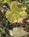Menispermum canadense 8305.jpg