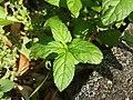 Mentha spicata sl8.jpg