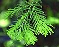 Metasequoia glyptostroboides in Dunedin Botanic Garden 03.jpg