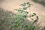 Millingtonia hortensis 002 Choeung Ek 2015.jpg