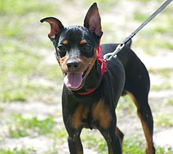 Miniature Pinscher Flickr.jpg