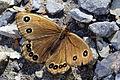 Minois nagasawae dorsal view 20140927.jpg
