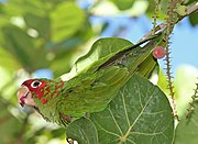 A green parrot with a red face and forehead, and white eye-spots