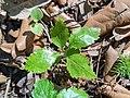 Moixeres de pastor (Sorbus torminalis) i esparraguera (Asparagus officinalis) acabats de néixer - Santa Perpètua de Gaià (cropped).jpg
