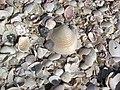 Mollusc shells on marine beach (Cayo Costa Island, Florida, USA) 4 (23959813079).jpg
