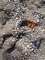 Monarch at Pointe Pelee.jpg