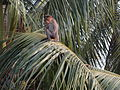 Monkey on the coconut tree.JPG