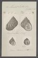 Monodonta labio - - Print - Iconographia Zoologica - Special Collections University of Amsterdam - UBAINV0274 082 21 0008.tif