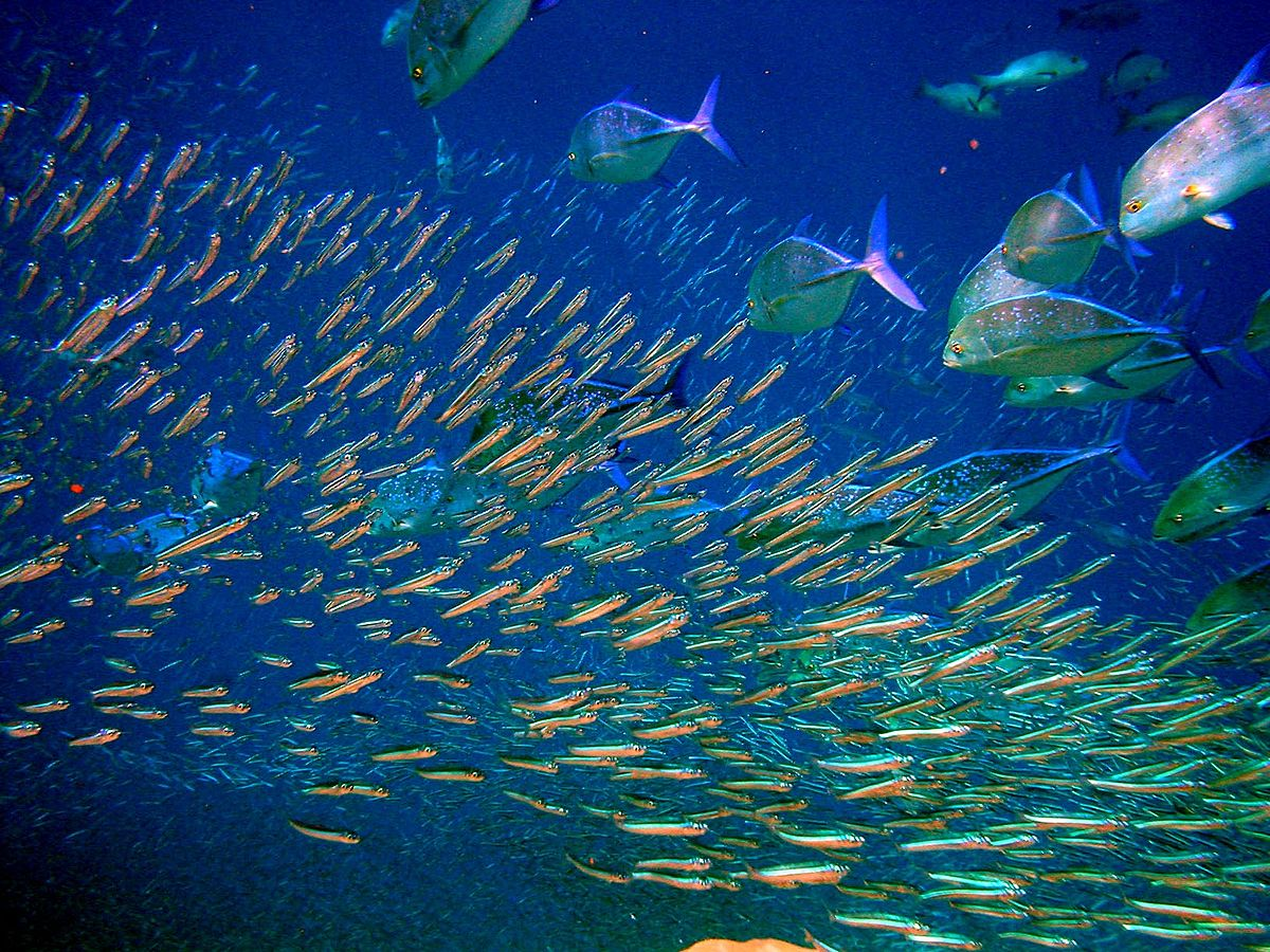 Pelagic fish - Wikipedia