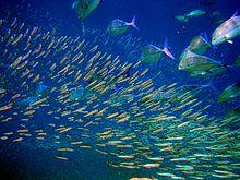 Un'immagine del pesce che si può ammirare nella pass di Moofushi, carangidi a caccia di cibo attaccano coordinatamente un banco di mushimas, le pass costituiscono il luogo ideale per osservare la fauna ittica maldiviana perché sono un punto di scambio vitale fra l'oceano e l'atollo, e quindi una zona di conflitto fra innumerevoli specie.