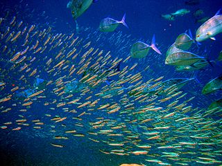 Pelagic fish Fish living in the pelagic zone of ocean or lake waters – being neither close to the bottom nor near the shore