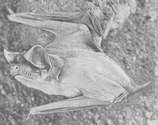 Trevors free-tailed bat species of mammal
