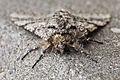 Moth 04 (MK).jpg