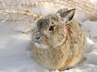 Mountain cottontail - Mountain cottontail in the snow at Seedskadee National Wildlife Refuge (Wyoming)