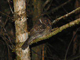 Mountain Owlet-Nightjar (2913747293).jpg