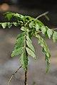 Murraya koenigii - Howrah 2011-11-07 6971.JPG